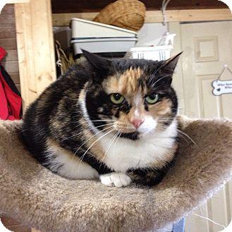 Calico Cat for adoption in Cincinnati, Ohio - May