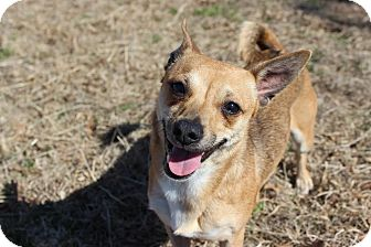 Chihuahua Mix Dog for adoption in Oakville, Connecticut - Emma