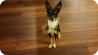 Terrier (Unknown Type, Small)/Chihuahua Mix Dog for adoption in Goodyear, Arizona - Doc