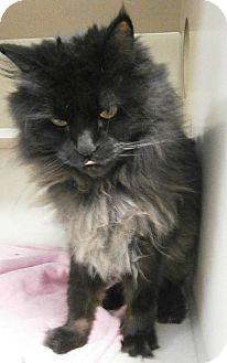 Domestic Longhair Cat for adoption in Cheboygan, Michigan - Baby