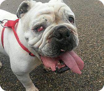 English Bulldog Dog for adoption in Columbus, Ohio - Romeo