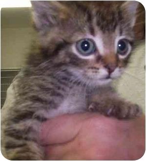 Domestic Shorthair Kitten for adoption in Princeton, Indiana - Sammy