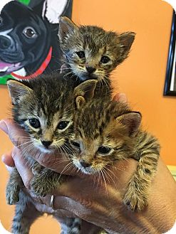 Domestic Shorthair Kitten for adoption in New Orleans, Louisiana - Rescue Kittens