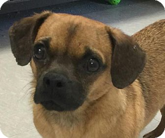 Pug Mix Dog for adoption in Spring Valley, New York - Moe