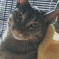 Domestic Mediumhair Cat for adoption in Oviedo, Florida - Ritz