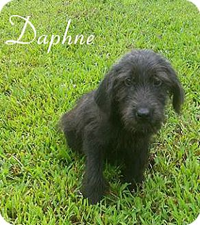 Poodle (Miniature)/Shepherd (Unknown Type) Mix Puppy for adoption in Columbia, Tennessee - Daphne
