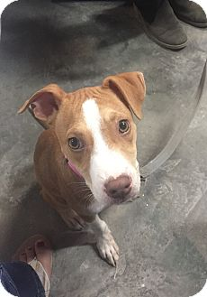 American Pit Bull Terrier Mix Puppy for adoption in Pulaski, Tennessee - Daisy