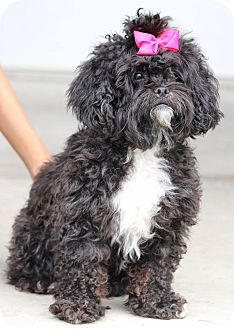 Poodle (Miniature) Mix Dog for adoption in South El Monte, California - Tootsie