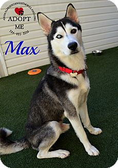 Husky Mix Dog for adoption in Youngwood, Pennsylvania - Max