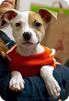 Terrier (Unknown Type, Small) Mix Puppy for adoption in Troy, Michigan - Maci