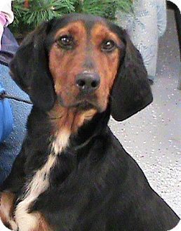 Bluetick Coonhound/Collie Mix Dog for adoption in Maynardville, Tennessee - Henrietta