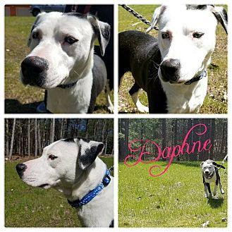 Dalmatian/Labrador Retriever Mix Dog for adoption in Cheboygan, Michigan - Daphne