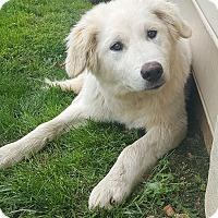 Adopt A Pet :: Snowball - New Oxford, PA