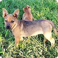 Adopt A Pet :: Cinnamon - Waller, TX