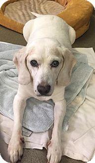 Beagle Mix Dog for adoption in Boca Raton, Florida - Walrus