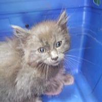 Adopt A Pet :: Rambler - Morgan Hill, CA
