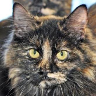 Domestic Longhair/Domestic Shorthair Mix Cat for adoption in Tilton, Illinois - Licorice Stick