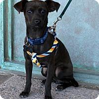 Chihuahua Mix Dog for adoption in Albuquerque, New Mexico - Mocha