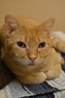 Domestic Shorthair/Domestic Shorthair Mix Cat for adoption in Elkhorn, Wisconsin - Zany-FIV+
