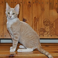 Adopt A Pet :: Leo - Parsons, KS