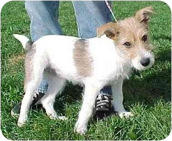 Jack Russell Terrier/Parson Russell Terrier Mix Puppy for adoption in North Judson, Indiana - Tobie