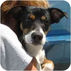 Whippet Mix Dog for adoption in Berkeley, California - Tyson