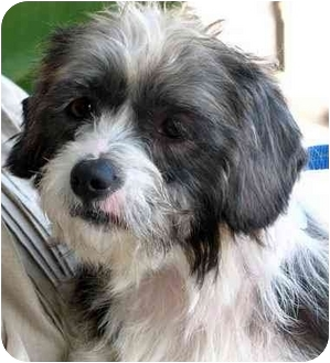 Terrier (Unknown Type, Small) Mix Dog for adoption in Spring Valley, California - Brody