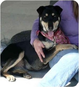 Labrador Retriever/Doberman Pinscher Mix Dog for adoption in Sacramento, California - Daphne BEST DOG