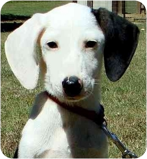 Beagle Mix Puppy for adoption in Pawling, New York - LIBBY