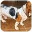 Photo 1 - Basset Hound Dog for adoption in Phoenix, Arizona - Fletcher
