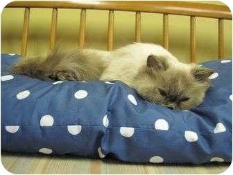 Himalayan Cat for adoption in Staunton, Virginia - Angel