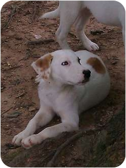Labrador Retriever/Husky Mix Puppy for adoption in Spring Valley, New York - Spotty
