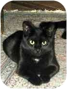 Domestic Shorthair Cat for adoption in Portland, Oregon - Holly & Belle (video)