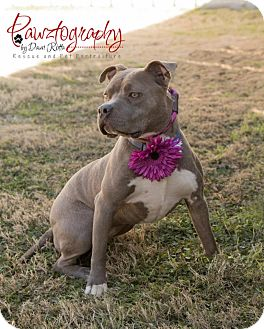 American Pit Bull Terrier Mix Dog for adoption in Gilbert, Arizona - Jewelz