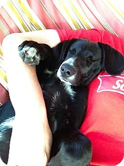 Border Collie/Labrador Retriever Mix Puppy for adoption in Naperville, Illinois - Haley