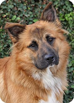 German Shepherd Dog Mix Puppy for adoption in Los Angeles, California - Buster von Bachau