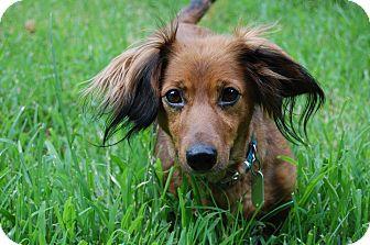 Dachshund Dog for adoption in Charlotte, North Carolina - Lily