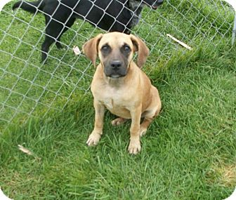 Boxer Mix Puppy for adoption in Liberty Center, Ohio - Loretta