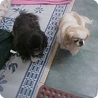 Adopt A Pet :: CHIQUITA--COCO__MILLIE FROSTY - Cathedral City, CA