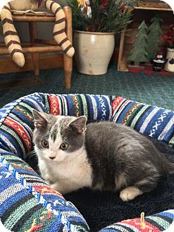 Domestic Shorthair Kitten for adoption in Bloomsburg, Pennsylvania - Charlize