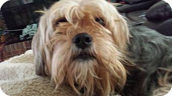 Yorkie, Yorkshire Terrier/Shih Tzu Mix Dog for adoption in Manassas, Virginia - Charlie