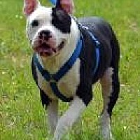 Pit Bull Terrier Mix Dog for adoption in Jackson, Mississippi - Trojan