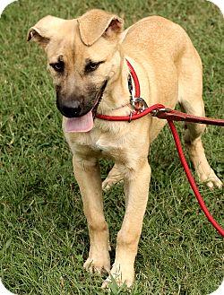 German Shepherd Dog Mix Puppy for adoption in Washington, D.C. - Meagan