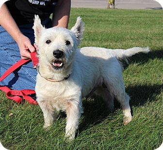 Westie, West Highland White Terrier Mix Dog for adoption in Elyria, Ohio - Nike