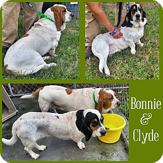 Basset Hound Mix Dog for adoption in Columbia, South Carolina - Bonnie