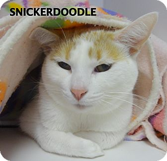 Domestic Shorthair Cat for adoption in Lapeer, Michigan - Snickerdoodle