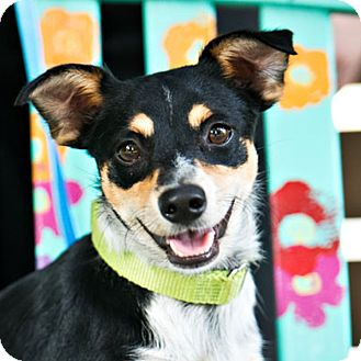 Rat Terrier/Chihuahua Mix Dog for adoption in Houston, Texas - Little Bit