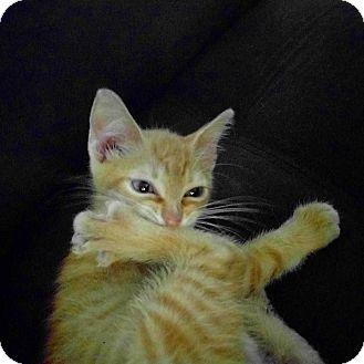 American Shorthair Kitten for adoption in Brooklyn, New York - Chow Fun