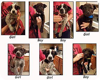 Blue Heeler/Labrador Retriever Mix Puppy for adoption in Hopkinsville, Kentucky - Heeler Mix Puppies