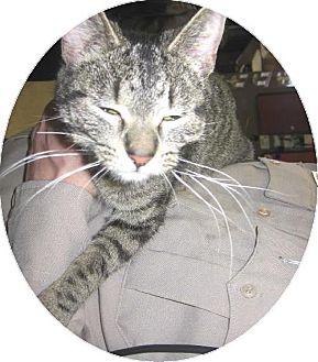 Domestic Shorthair Cat for adoption in Kankakee, Illinois - Tigger
